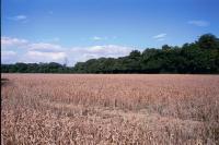 Coppice Wood from White Horse Lane, nr St Albans, Hertfordshire (2000) (© HCC Landscape)
